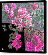 Back Door Bougainvillea Acrylic Print by Eikoni Images