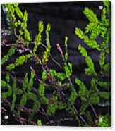 Back-lit Conifer Branches Acrylic Print