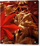 Back-lit Japanese Maple Leaf On Dried Leaves Acrylic Print