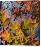 Back-lit Sugar Maple Leaves From Below Acrylic Print