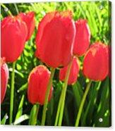 Back Lit Tulips 2 Acrylic Print