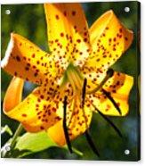 Back-lit Yellow Tiger Lily Acrylic Print