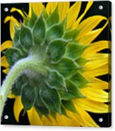 Back Of Sunflower Acrylic Print