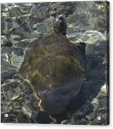 Back Of Turtle Acrylic Print