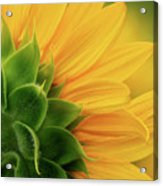Back View Of Sunflower Acrylic Print