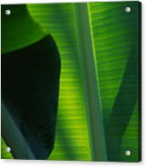 Backlit Banana Leaves Acrylic Print