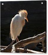 Backlit Egret Acrylic Print