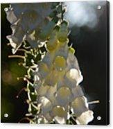 Backlit Foxgloves 2 Acrylic Print