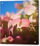 Backlit Hydrangea Acrylic Print