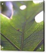 Backlit Leaf Acrylic Print