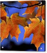 Backlit Maple Leaves Acrylic Print