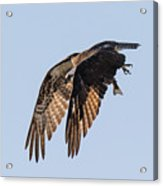 Backlit Osprey Takes Flight Acrylic Print