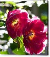 Backlit Roses Acrylic Print