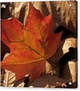 Backlit Sugar Maple Leaf In Dried Leaves Acrylic Print