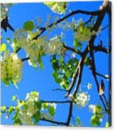 Backlit White Tree Blossoms Acrylic Print