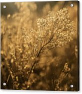 Backlit Wildflower Seeds In Autumn Acrylic Print