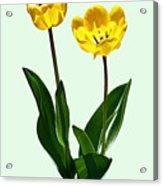 Backlit Yellow Tulips Acrylic Print
