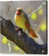 Backyard Bird Female Northern Cardinal Acrylic Print