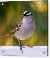 Backyard Bird - White-crowned Sparrow Acrylic Print
