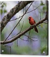 Backyard Cardinal Acrylic Print