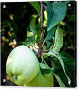 Backyard Garden Series - 2 Apples Acrylic Print