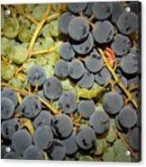 Backyard Garden Series - Grapes And Vines Acrylic Print