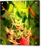 Backyard Garden Series - One Ripe Raspberry Acrylic Print