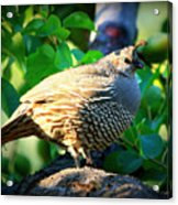 Backyard Garden Series - Quail In A Pear Tree Acrylic Print