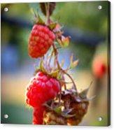 Backyard Garden Series - The Freshest Raspberries Acrylic Print