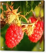 Backyard Garden Series - Two Ripe Raspberries Acrylic Print