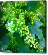 Backyard Garden Series - Young Grapes Acrylic Print