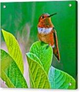 Backyard Hummingbird #22 Acrylic Print