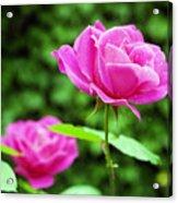 Backyard Rose Acrylic Print