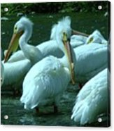 Bad Hair Day At The Pelican Social Gathering  Acrylic Print