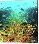 Bahamas Shipwreck Fish Acrylic Print