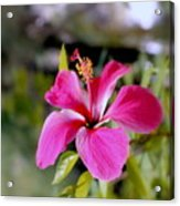 Bahamian Flower Acrylic Print