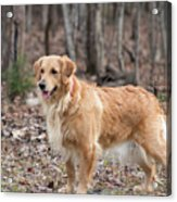 Bailee The Golden Acrylic Print