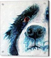 Bailey Our Border Collie Acrylic Print