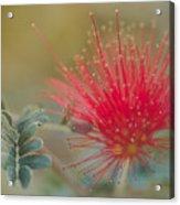 Baja Fairy Duster Acrylic Print