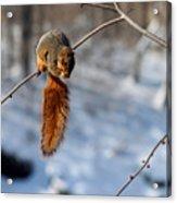 Balancing Squirrel Acrylic Print
