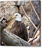 Bald Eagle - Portrait Acrylic Print