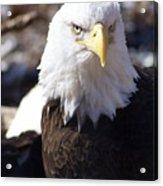 Bald Eagle 1 Acrylic Print