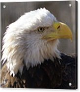 Bald Eagle 3 Acrylic Print