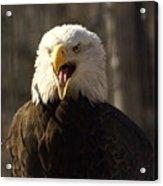 Bald Eagle 4 Acrylic Print