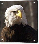Bald Eagle 5 Acrylic Print