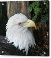 Bald Eagle #8 Acrylic Print