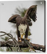 Bald Eagle Eating Fish Acrylic Print