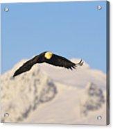 Bald Eagle Flying In Alaska Acrylic Print