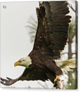 Bald Eagle Flying With Fish Acrylic Print