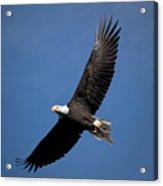 Bald Eagle I Acrylic Print
